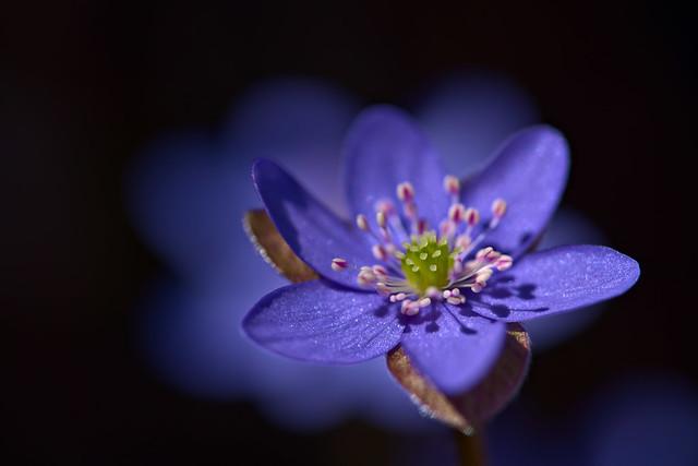 Beauty in Blue - Hepatica