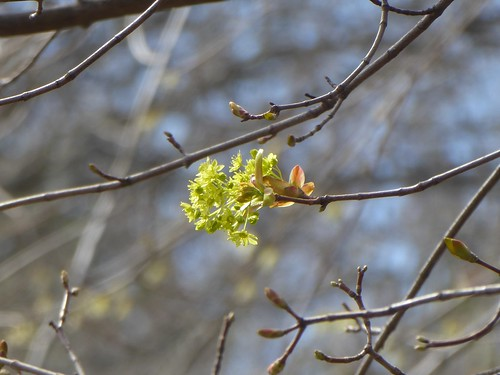 Norway maple in bloom