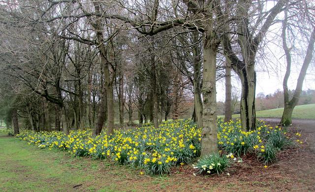 Balbirnie Daffodils, Fife