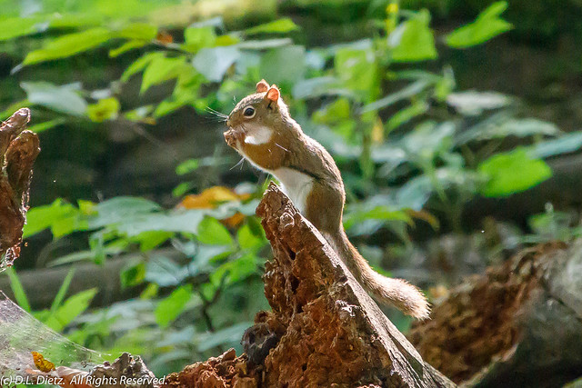 American Red Squirrel #1 - 2018-09-15