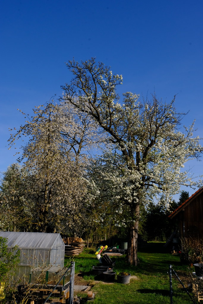 Flowering old cherry and old pear tree