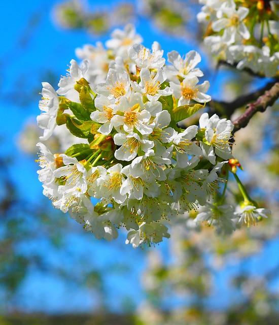 Cherry Blossoms in Germany, Frauenstein near Wiesbaden - famous for tasty sweet Cherries