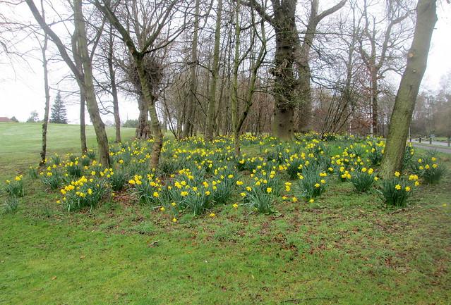 Balbirnie Daffodils