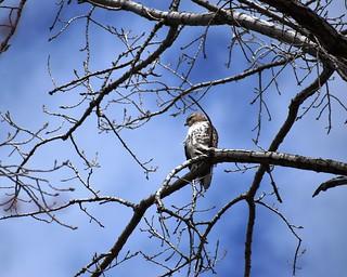 Hawk in the tree