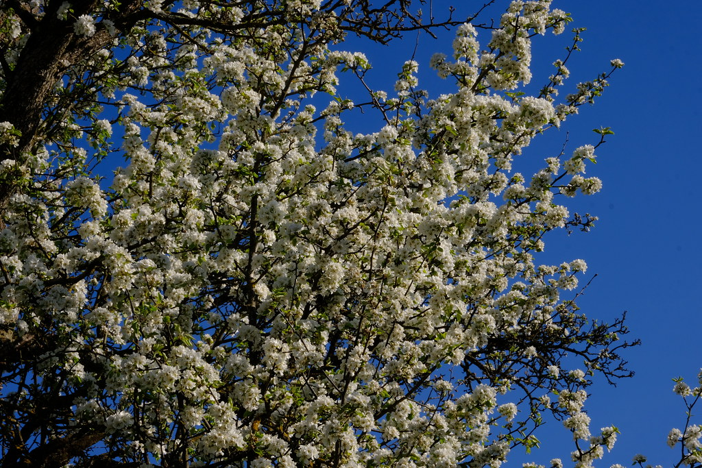 Flowering old pear tree