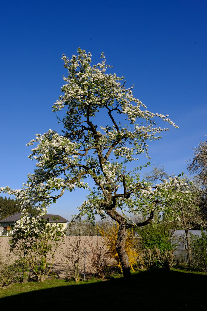 Old pear tree