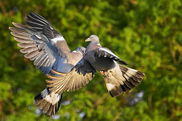 Pigeons ramier _A734962_DxO