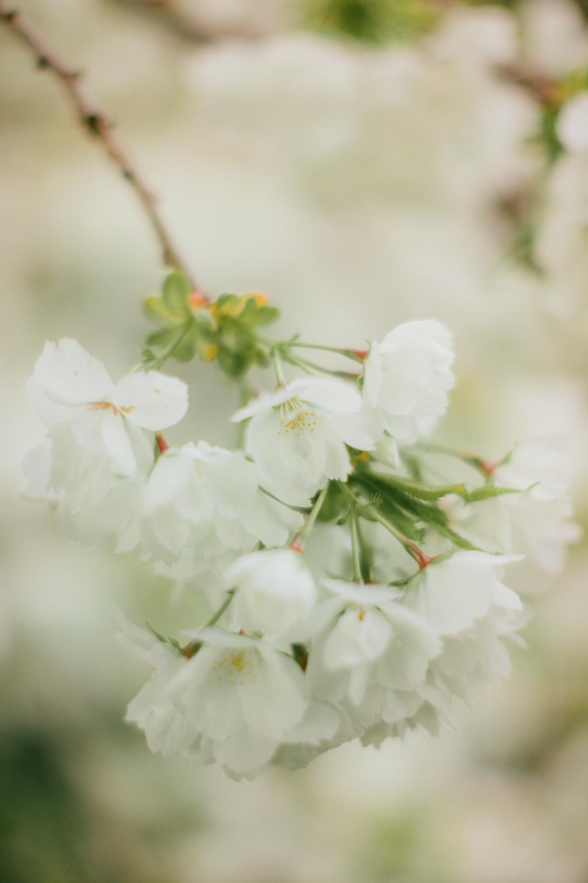 blossomaxi-38