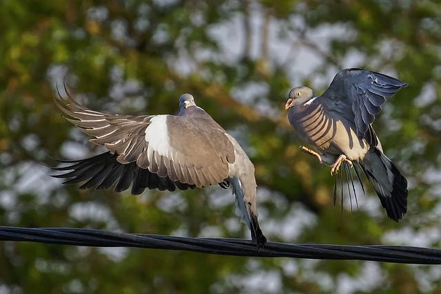 Pigeons ramier _A734980_DxO