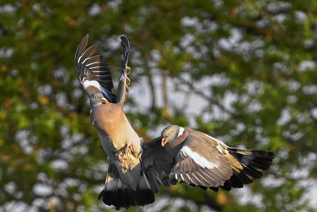 Pigeons ramier_A734982_DxO