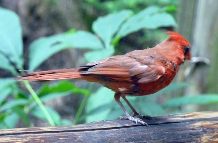 Cardinalis cardinalis 49763232003_074331d448_o