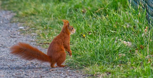 Städtisches Eichhörnchen // Urban squirrel