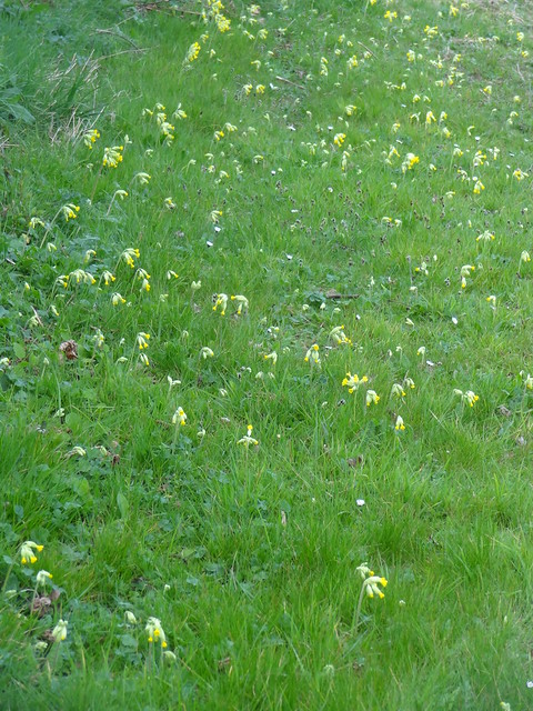 Cowslips galore