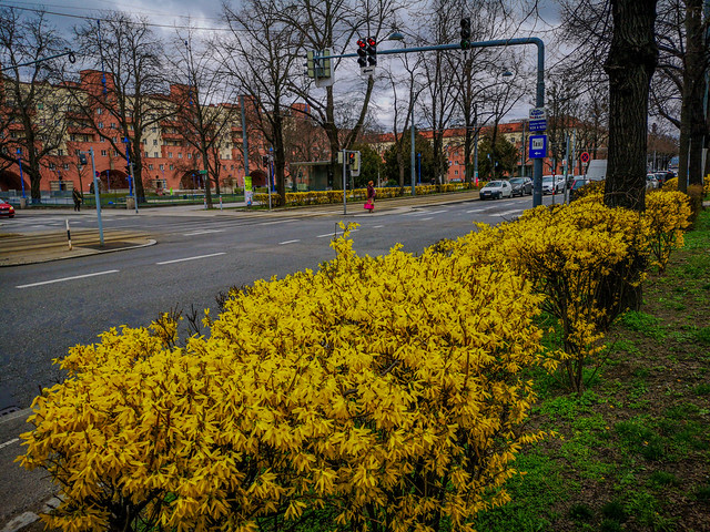 The blooming yellow flowers of Forsythia Bush along the streets during spring time.