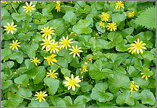 Lesser Celandine Flowers...