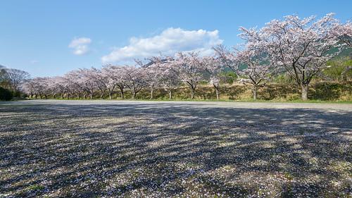 sakura cherryblossoms someiyoshino spring flower arcadiananbupark 桜 ソメイヨシノ アルカディア南部総合公園 春 南部町 山梨 日本 sony α99ⅱ a99m2 ilca99m2 amount sal1635z variosonnart*1635mmf28zassm carlzeiss