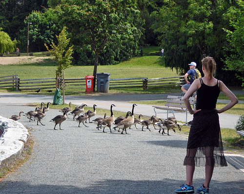 Canada Geese crossing on the Seawall in Vancouver, Canada