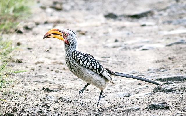 Eastern Yellow-billed Hornbill  (Tockus flavirostris), Pilanesberg, South Africa