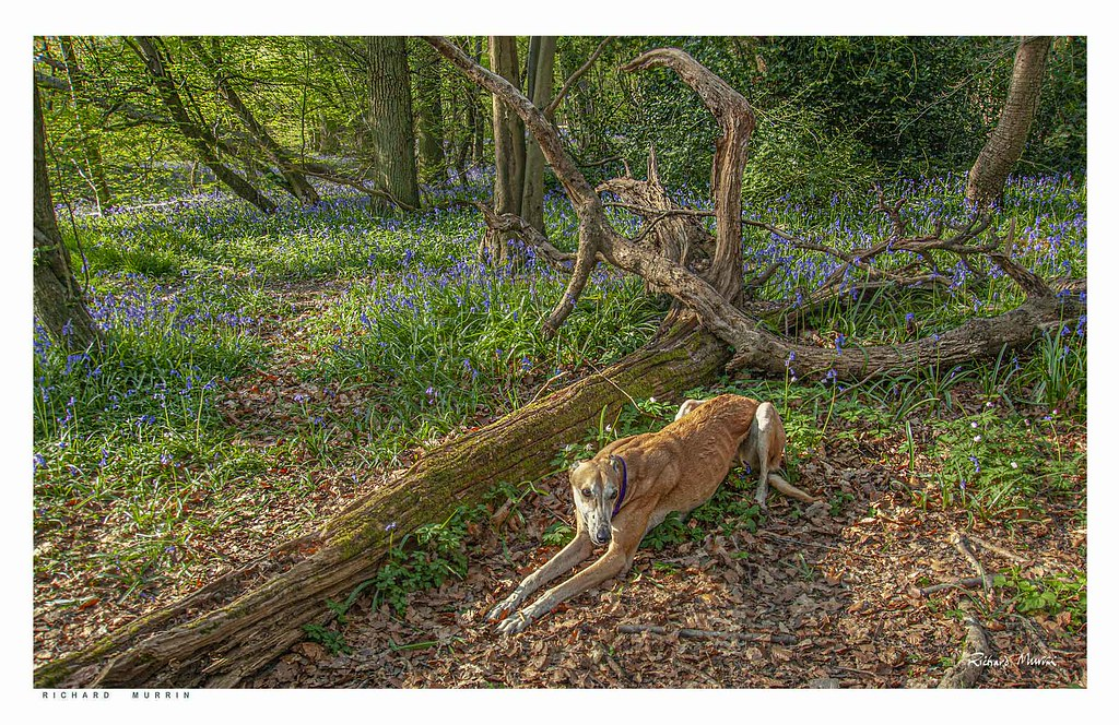 Dog in the woods this morning, Olivers Shaw, Eynsford