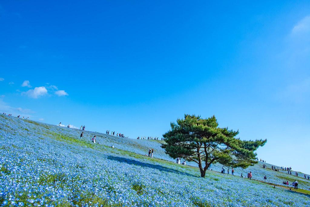 国営ひたち海浜公園 ネモフィラ みはらしの丘【2018/04/30】