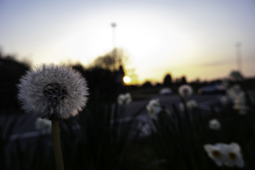taraxacum flower plant spring sun sunset sunsetting background bokeh shallowdepthoffield focus beautiful surrey guildford outside outdoors nopeople landscape sky skyascanvas skyasthecanvas fuji fujifilm xt100 mirrorless mirrorlesscamera daffodil daffodils white yellow colour colours flowers
