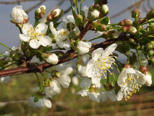 Pear blossom - white