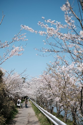 桜の花、舞い上がる道を 2020