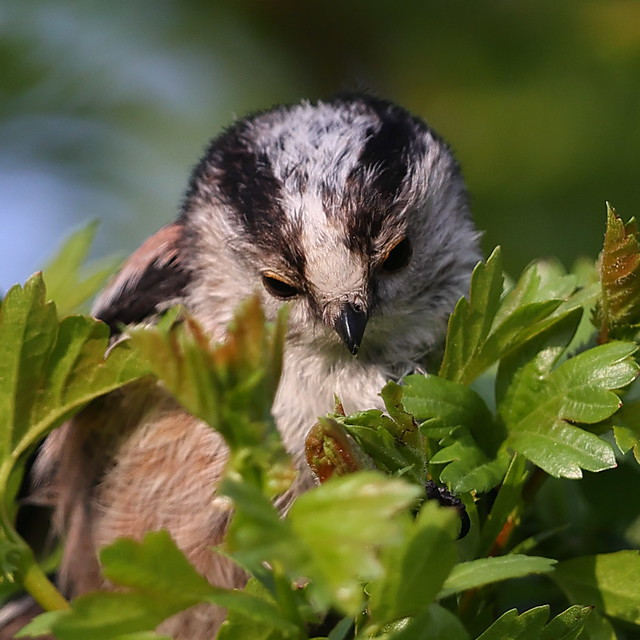 Long-tailed Tit and Aphids