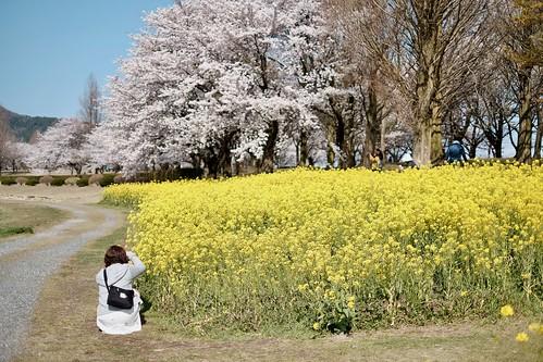 菜の花と桜の花