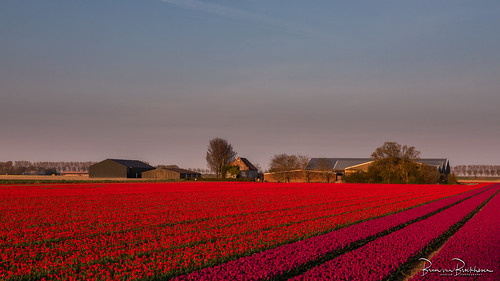 Farm and tulips in the morning light