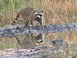 Raccoon 01-20200412