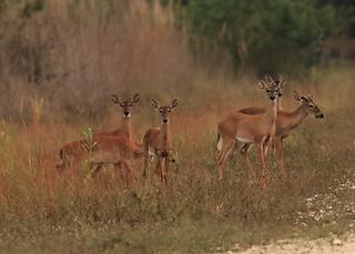 White-tailed Deer 02-20200412
