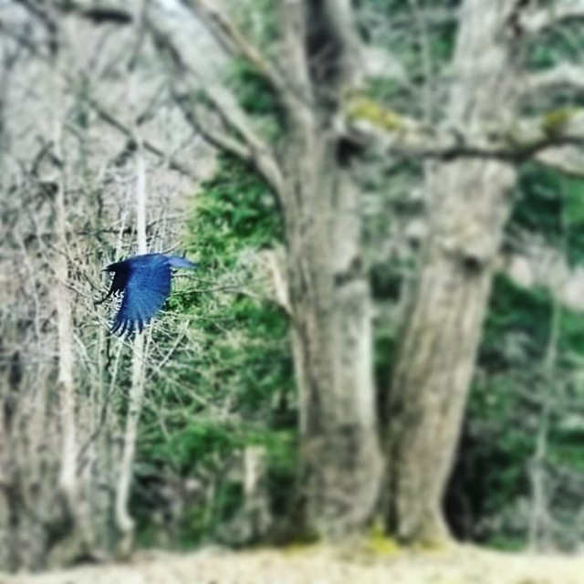 Crow #ChestnutRidge #wny #orchardpark #spring #nature #hiking #trees #bird #crow