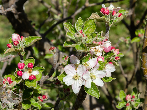 apple_blossoms_20200412_105