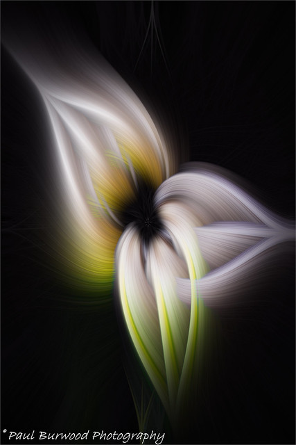 Calla Lily all in a Twirl