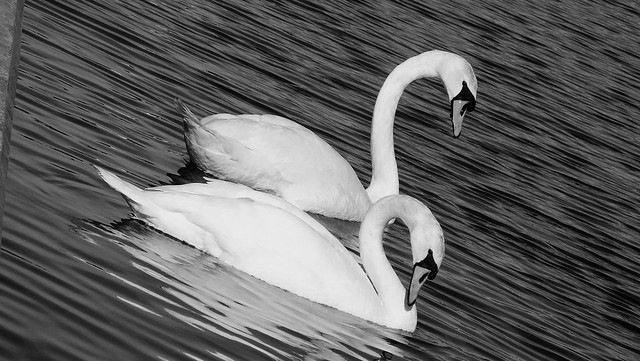 Swans 03