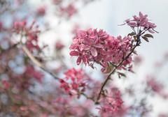 Eastern Blossom