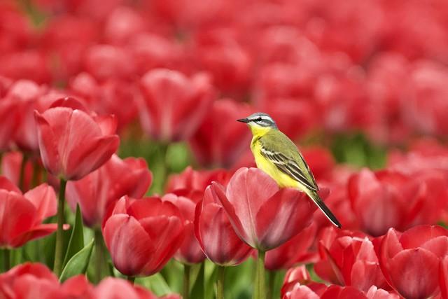 Yellow Wagtail   Gele Kwikstaart (Motacilla flava)