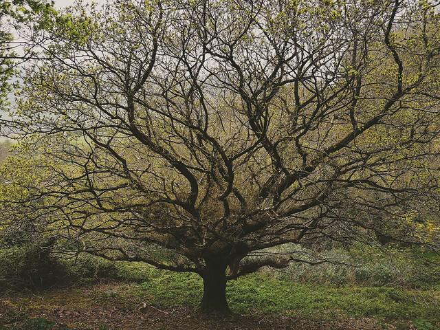 Budding oak...
