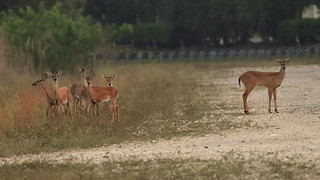White-tailed Deer 01-20200412