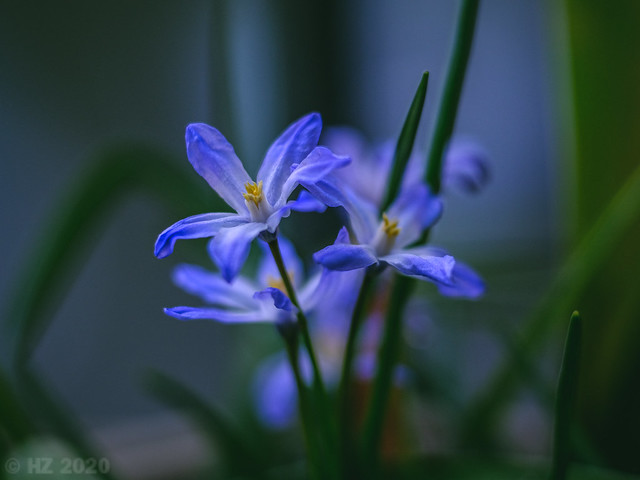 Flowers on my Balcony - Speta (Chionodoxa forbesii Baker)