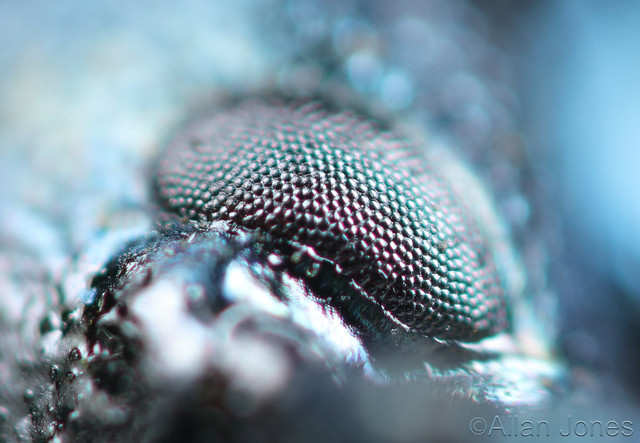Eye of a Beetle