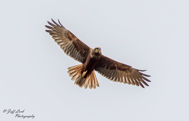 DSC4084  Marsh Harrier..