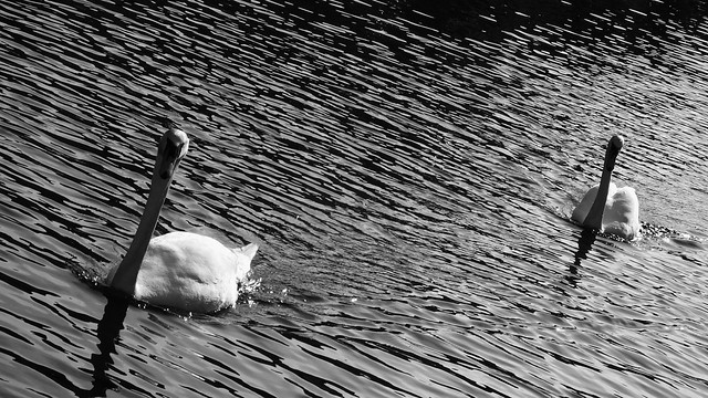 Swans 01