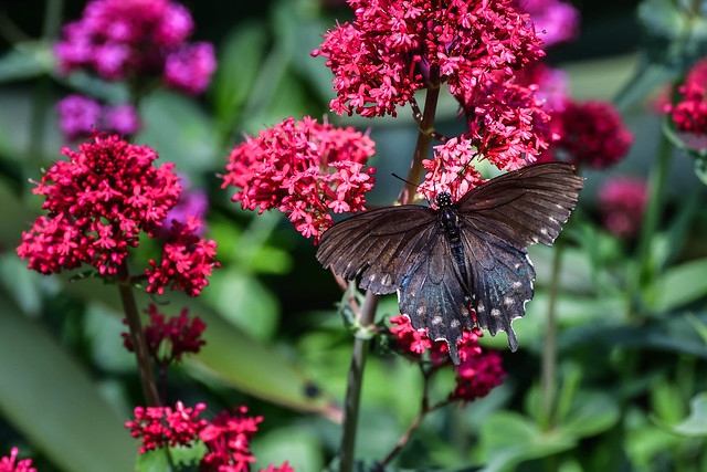 Day 102/365 ~ Pipevine Swallowtail on Centranthus