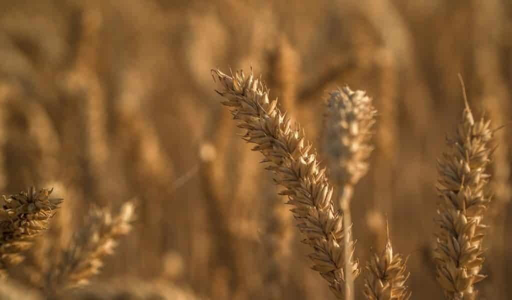Un champignon pourrait sauver les cultures de blé