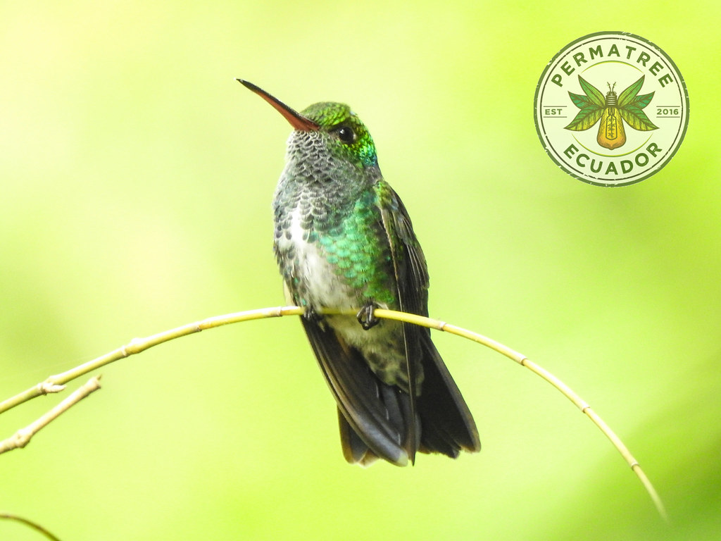 Glittering-throated Emerald (Amazilia fimbriata) PermaTree, Ecuador
