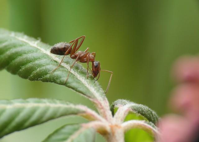 ant on buckeye
