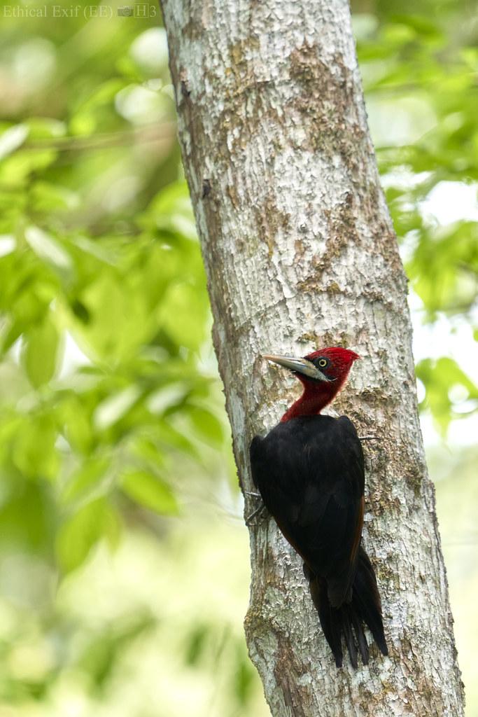 Red-necked woodpecker (Campephilus rubricollis)