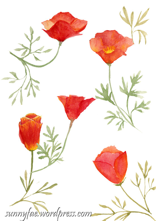 californian poppy sketches